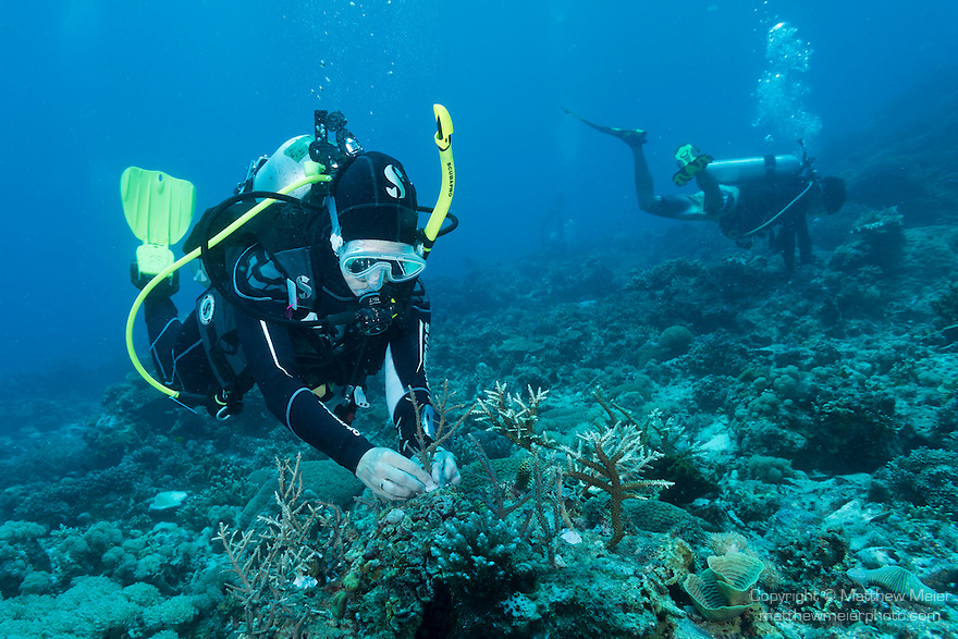 Anda, Bohol, Philippines; scuba divers afix broken corals to dead spots on the reef in hopes that the corals will continue to grow and help restore the reef