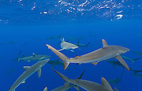RM0639-D. Silky Sharks (Carcharhinus falciformis), dozens gathered together to feed on small fish in baitball (out of frame). Baja, Mexico, Pacific Ocean. <br /> Photo Copyright &copy; Brandon Cole. All rights reserved worldwide.  www.brandoncole.com