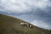 Horses run along a hill on the Rocky Boy Reservation in northern Montana, USA.