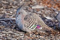 Crested Pigeon, Cobar Crv Pk, Cobar, NSW, Australia