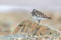 Great Knot (Calidris tenuirostris) on its breeding territory. Chukotka, Russia. May.