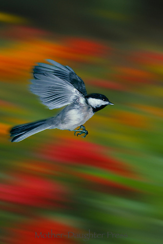 Black capped chickadee,  Poecile atricapillus, flying with fall colors behind