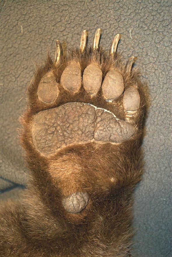 Bearfoot of Brown bear, Bjørnefot, Brunbjørn