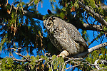 Great horned owl. Yellowstone National Park, Wyoming.