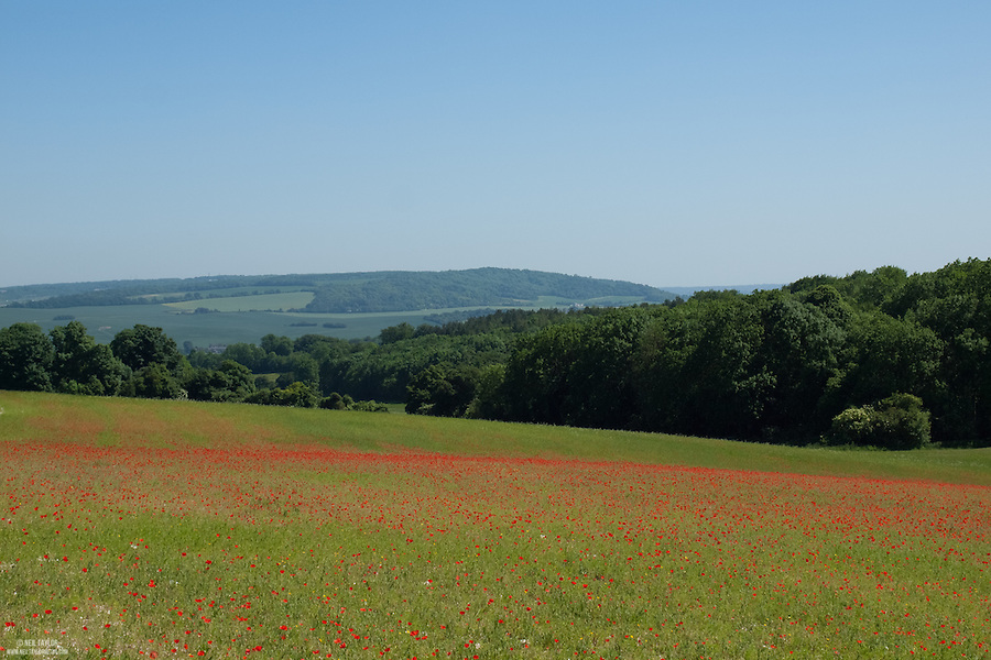 A Field of Common Poppy {Papaver rhoeas} in Ranscombe Farm Nature Reserve
