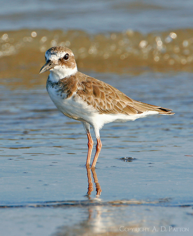 Adult Wilson's plover in non-breeding plumage in Sept. At Bolivar Point, TX