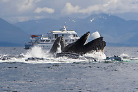 a group of adult humpback whales, Megaptera novaeangliae, co-operatively 'bubble-net' feeding beside the M/Y Safari Spirit along the west side of Chatham Strait, Alaska, USA, Pacific Ocean