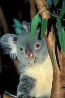 Koala and Eucalyptus,  Australian marsupial