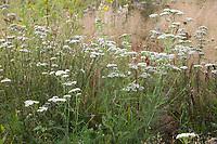 Schafgarbe, Gewöhnliche Schafgarbe, Wiesen-Schafgarbe, Schafgabe, Achillea millefolium, yarrow, Common Yarrow, Achillée millefeuille, la Millefeuille