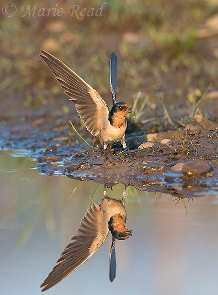 Barn Swallow (Hirundo rustica) about to take flight with a beakful of mud as nesting material, New York, USA