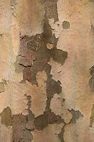 Amerikanische Platane, Westliche Platane, Abendländische Platane, Nordamerikanische Platane, Stamm, Rinde, Borke, Platanus occidentalis, American Sycamore, American planetree, American plane, Occidental plane, Buttonwood, Button Tree