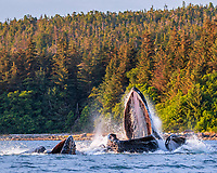 humpback whale, Megaptera novaeangliae, bubble-net feeding, at sunset, Chatham Strait, Alexander Archipelago, Inside Passage, Alaska, USA, Pacific Ocean