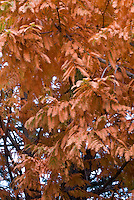 Metasequoia glyptostroboides 'Ogon' in fall foliage autumn color (Dawn Redwood Trees)