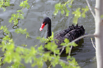 A black swan is seen in a pond at the Biblical Zoo in Jerusalem. Photo By : Emil Salman / JINI