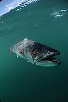 King mackerel, Kingfish, Scomberomorus cavallaa, Florida coast, USA, Atlantic Ocean