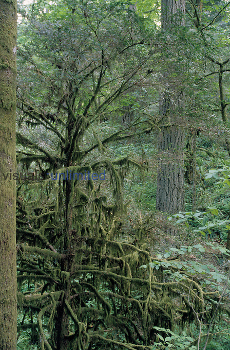 Pacific Yew (Taxus brevifolia) in an old growth forest, Pacific Northwest, USA.