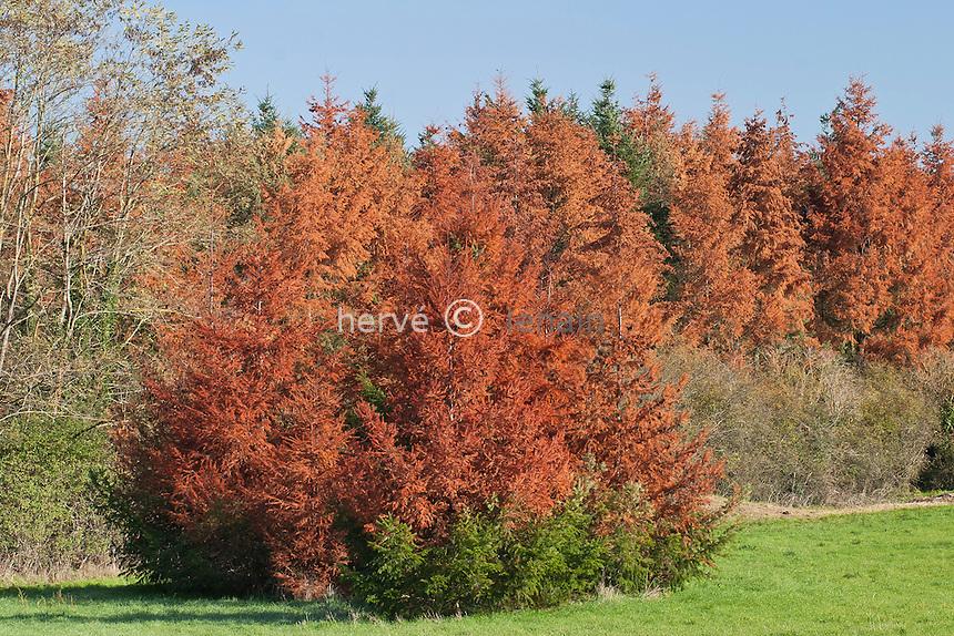 Dégats de la sécheresse de l'été 2003 sur des épiceas (Picea abies) // Damage from drought in summer 2003 in France on spruces (Picea abies)