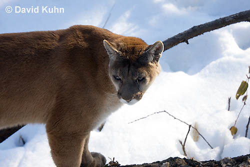 0218-1008  Mountain Lion (Cougar) in Snow, Puma concolor (syn. Felis concolor)  © David Kuhn/Dwight Kuhn Photography.