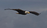 Bald eagle ib flight, Haliaeetus leucocephalus, Puget Sound, Pacific Northwest, Olympic Peninsula, Washington State, American eagle, eagles in flight,