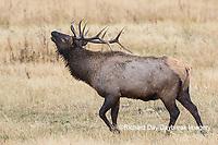 01980-02819 028.18 Elk (Cervus elaphaus) bull male bugling, Yellowstone National Park, WY