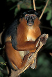 Red Colobus Monkey, Colobus Piliocolobus pennanti , sitting in tree, in forest, West Africa