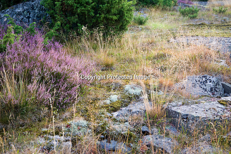 Heather and Glacier Worn Rocks on the Baltic Island of Kökar