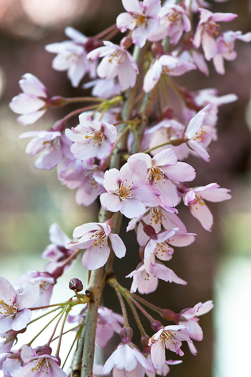 Pink blosson of weeping Higan cherry (Prunus pendula 'Pendula Rubra', syn. P. subhirtella 'Pendula Rubra'), late March.