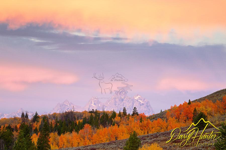 My favorite grove of aspens in Jackson Hole.  Sunrise, Red Aspens, Bridger Teton National Forest, Grand Tetons, Jackson Hole, Wyoming, Autumn
