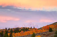 My favorite grove of aspens in Jackson Hole.  Sunrise, Red Aspens, Bridger Teton National Forest, Grand Tetons, Jackson Hole, Wyoming, Autumn