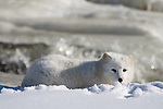Arctic fox (Alopex lagopus) lying in the snow