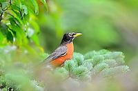 American Robin in tree