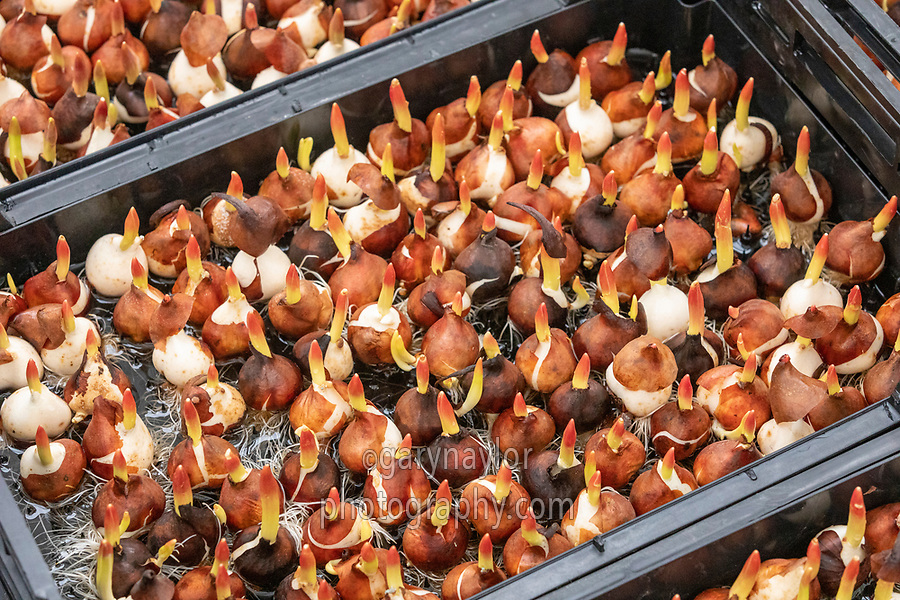 Tulip bulbs planted in trays without peat to produce flowers - Lincolnshire, February