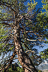 looking up trunk of ponderosa pine, Rocky Mountains, Estes Park, Colorado, USA