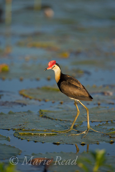 Comb-crested Jacana (Irediparra gallinacea), adult, Yellow Water, Kakadu National Park, Northern Territory, Australia.