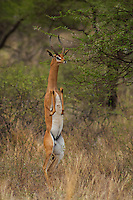 Gerenuk (Litocranius walleri),  feeding in Samburu National Reserve, Kenya.