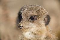 Germany, DEU, Gelsenkirchen, 2006-Nov-16: A meerkat (suricata suricatta) keeping watch in the Gelsenkirchen zoo.