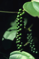 INDIA Kerala, Idukki District, Peermade, Cardamom Hills, organic and fairtrade pepper project of PDS Peermade Development Society, plant with green pepper berries, after harvest they will be dried in the sun / INDIEN Kerala, Kardamom Berge, Peermade Society, Anbau von fairtrade und Bio Pfeffer, Strauch mit gruenen Pfefferbeeren, nach der Ernte werden sie in der Sonne getrocknet bis sie schwarz werden