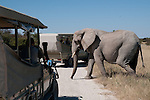 African elephant crossing dirt road between safari vehicles in Etosha National Park, Namibia. (This species is found in many African countries including South Africa, Botswana, Zambia, Zimbabwe, Namibia, Tanzania, Kenya, Rwanda, Uganda, Angola, Democratic Republic of Congo)