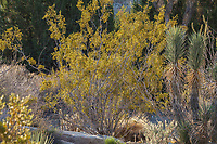 Larrea tridentata, Creosote bush; Living Desert Garden, Palm Springs, California.