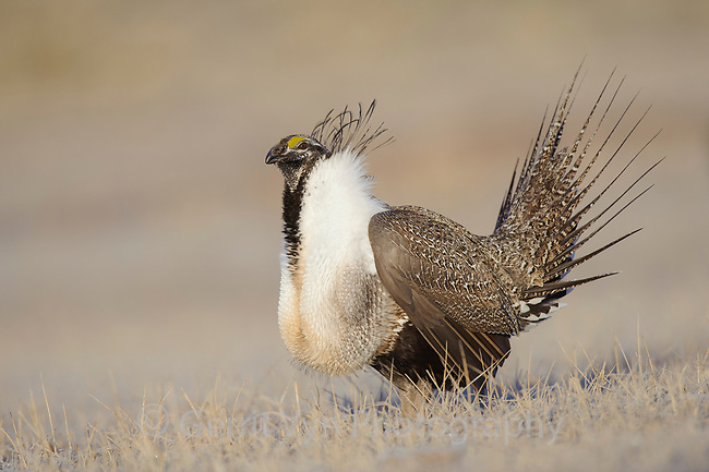 Male Greater Sage-Grouse (Centrocercus urophasianus) displaying on a lek. Freemont County, Wyoming. March.