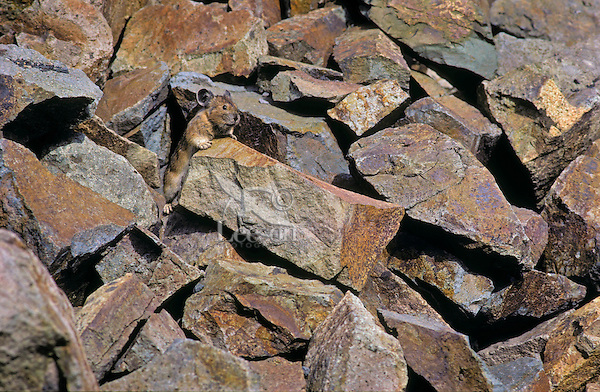 PIKA -   Ochotonidae princeps - camouflage in rock pile is primary defense against predators. Alpine resident. Cascade Mountains, British Columbia. Canada.