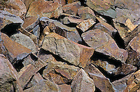 PIKA -   Ochotonidae princeps - camouflage in rock pile is primary defense against predators. Alpine resident. Cascade Mountains, British Columbia. Canada.