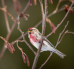 Male common redpoll perched in a speckled alder in northern Wisconsin.
