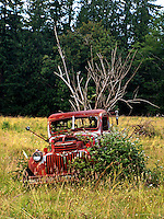 An old red pick-up truck sits in a field.  Vines and trees are growing in and around it.