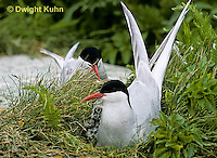 MC71-002z  Arctic Tern - adult at nest with chick, incubating - Machias Seal Island, Bay of Fundy - Sterna paradisaea