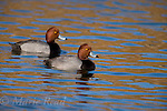 Redhead males (Aythya americana) in breeding plumage, two swimming, Bolsa Chica Ecological Reserve, California, USA