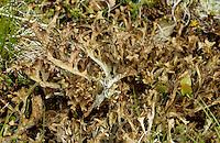 Isländisches Moos, Lichen Islandicus, Blutlungenmoos, Fiebermoos, Hirschhornflechte, Flechte, Cetraria islandica, Iceland moss