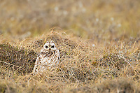 A short-eared owl sits on the summer tundra of Alaska's Arctic North Slope