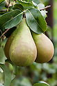 """Pear 'Concorde', early September. An English pear """"raised at the Horticulture Research International centre, East Malling, Kent, from 'Doyenne du Comice' x 'Conference' and selected in 1977. 'Concorde' makes a compact tree and fruits very heavily. It is very suitable for cordon training and a good garden cultivar."""" ('Pears' by Jim Arbury and Sally Pinhey)"""