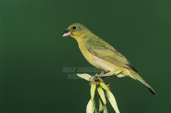 Painted Bunting, Passerina ciris,immature male on blooming Soaptree Yucca (Yucca elata) , Lake Corpus Christi, Texas, USA, May 2003